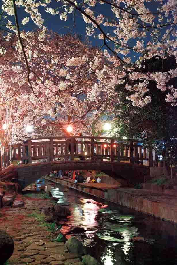 ソメイヨシノ、ヤエザクラなどが約400本。用水路にかかる北村橋〜東名下の約1.5kmに渡って夜桜を鑑賞できる