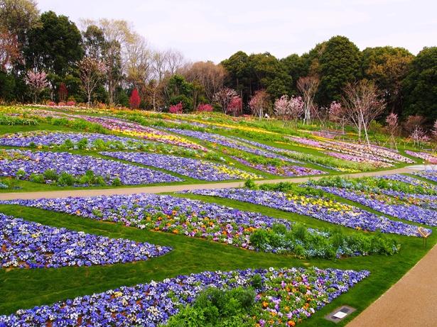 市内最大級の大花壇。かわいらしいパンジーとビオラが一面に咲く(写真は昨年の様子)