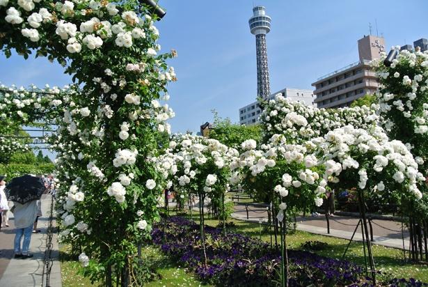 満開の白バラの純潔さだけでなく気高い美しさにうっとり(写真は昨年)