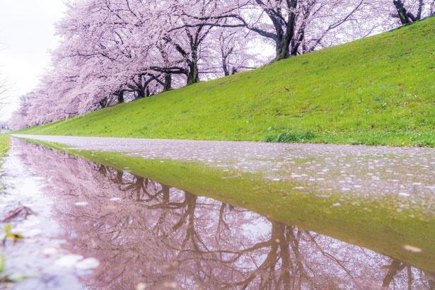 桜並木が水面に映り込んだ、雨上がりの風景