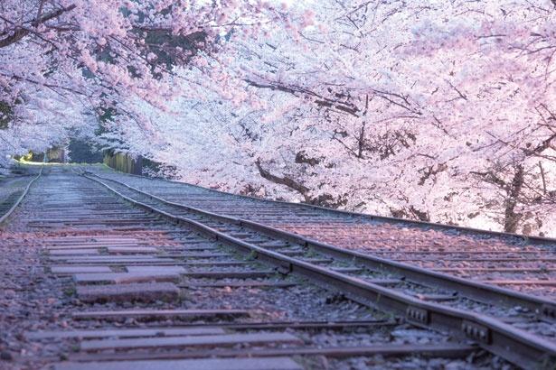【画像を見る】傾斜鉄道を彩る桜を上から見る?下から見る?