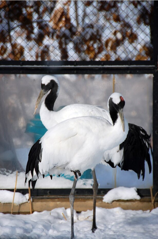 旭山動物園/タンチョウ舎で展示されている2羽