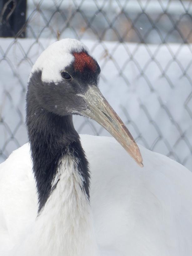 旭山動物園/タンチョウの頭頂部は羽毛ではなく、赤い皮ふが見えている