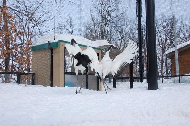 旭山動物園/羽を広げ、ツルダンスを行うタンチョウ