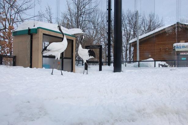 旭山動物園/鳴き交わしをするタンチョウのペア