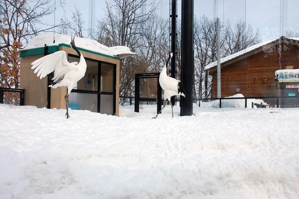 旭山動物園/鳴き交わしのようす