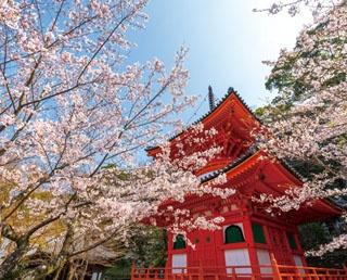 重文に指定される多宝塔周辺が、紀三井寺の春で最も美しい。朱色が鮮やかな伽藍とのコントラストは、ライトアップ時にさらに幻想的に
