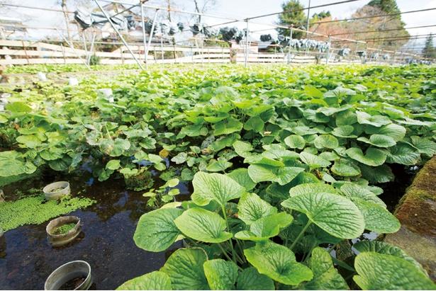 【写真を見る】緑が鮮やかなワサビ畑。さんぽ道には屋根があるので雨天でも大丈夫