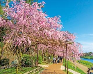 桜のアーチが美しい京都の半木の道