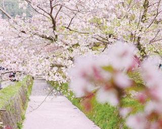 美しく散った桜の花びらが水面を埋め尽くす