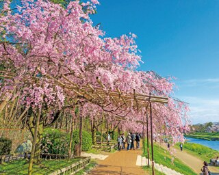 満開のベニヤエシダレザクラなどが頭上をおおう。川沿いから見上げても美しく、鴨川のせせらぎと桜を楽しめる