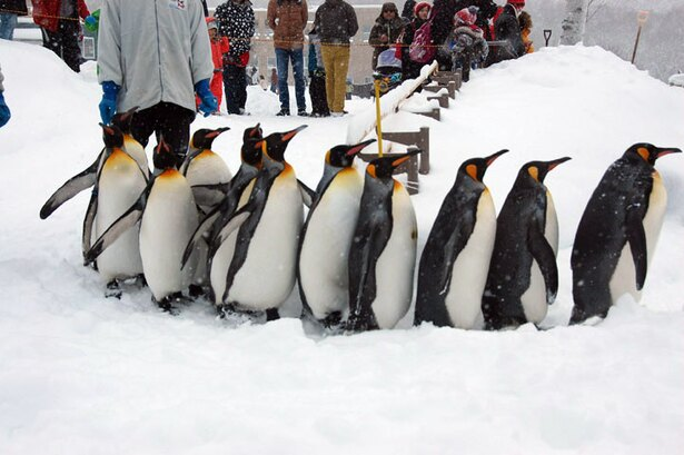 旭山動物園/ペンギンの散歩風景