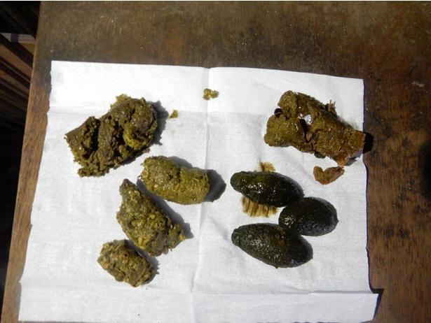 旭山動物園/レッサーパンダのウンチ。手前左側がイモ、右側が笹、左奥がペレット(総合栄養食)、右奥がリンゴ