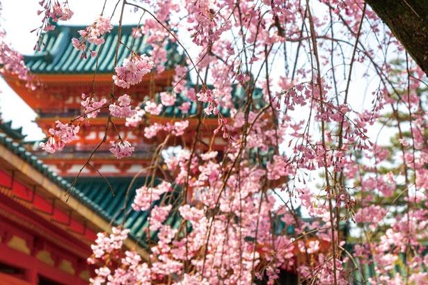 南神苑のベニシダレザクラや、朱塗りの大極殿をあでやかに彩る樹齢100年以上の「左近の桜」など、境内には見どころが満載