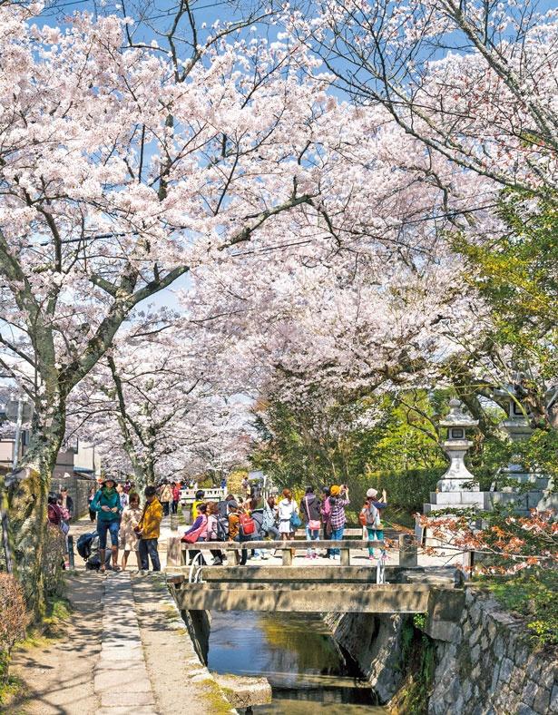 疏水沿いに続く桜のアーチは散策にぴったり