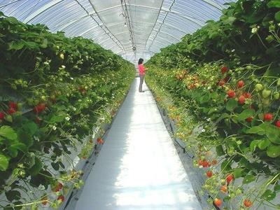 九州最大級のいちご園「プーさんのいちご園」
