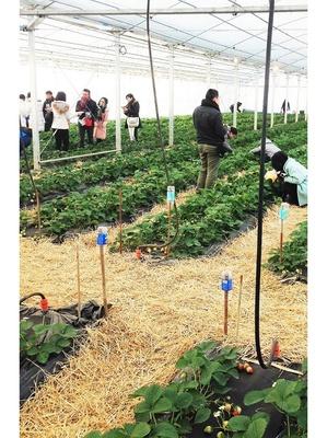 いちごとフルーツトマトが食べ放題「平井観光農園」