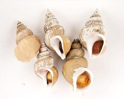 オススメお土産 バイ貝(500円) 通年ある北陸産のバイ貝は、茹でて下処理済み。