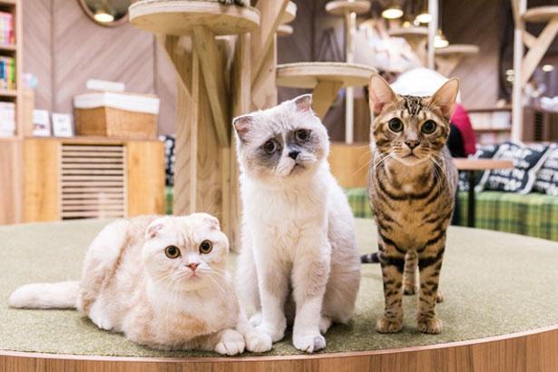 【写真を見る】左からスコティッシュの玄米くん、ゴローくん、ベンガルのティグくん/猫カフェ MOCHA 心斎橋店