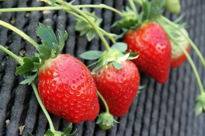 【写真を見る】細部にまでこだわった健康イチゴ「観光農園 吉次園」