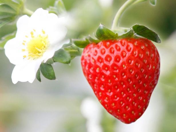 甘味たっぷりの人気品種が勢ぞろい「七楽の郷」