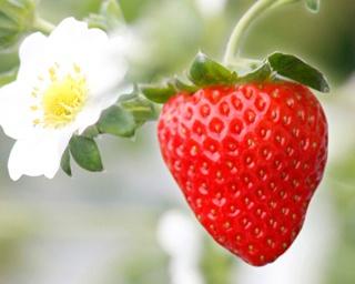 甘くておいしいイチゴが食べ放題!熊本で人気のイチゴ狩り農園ベスト3