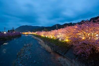 夜間は桜のライトアップが行われる