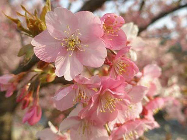 【写真を見る】河津桜は花が大きく濃いピンク色が特徴