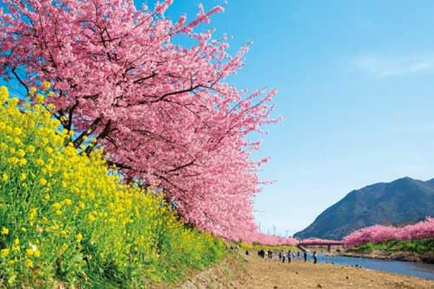 河津川沿いには約800本、全体では約8000本の河津桜が咲き誇る