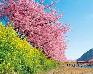 """本州有数の早咲き""""河津桜""""!「河津桜まつり」で見頃の桜を愛でよう"""