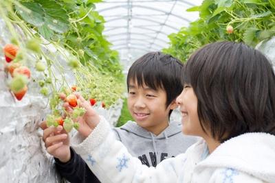 「イチゴ農園の仕事」は収穫したイチゴを持ち帰ることができる