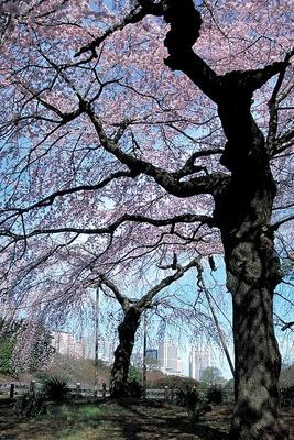 高層ビルと桜のコラボレーションが美しい、新宿御苑の桜