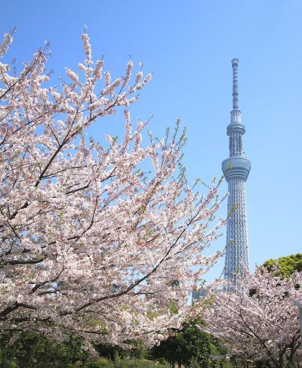 8代将軍・徳川吉宗が造った桜の名所!隅田公園の桜