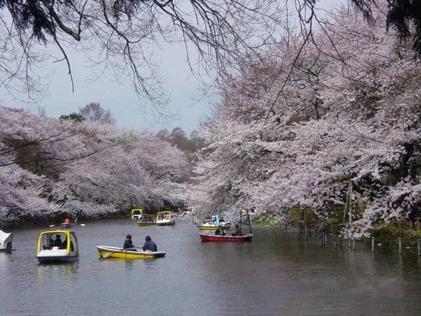 池にせり出して咲く、井の頭恩賜公園の桜