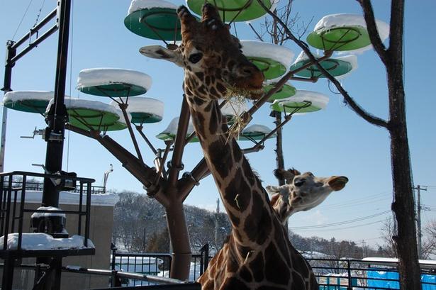 旭山動物園/アミメキリンのゲンキと結(ゆい)