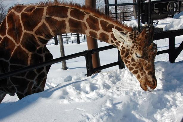 旭山動物園/雪を食べている、アミメキリンのゲンキ