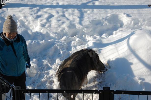 旭山動物園/もぐもぐガイドの時間に外へ出る、イボイノシシ