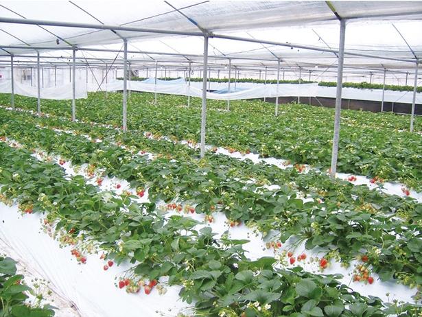 一部高設栽培で立ったまま摘み取れ、ベビーカーや車いすも安心して利用できる