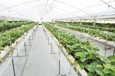 高さの違う高設栽培で、子供から大人まで収穫を体験できる