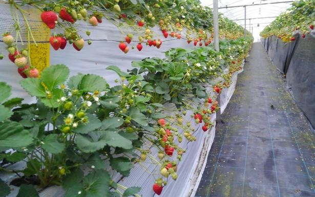高設栽培で立ったままイチゴ狩りができる