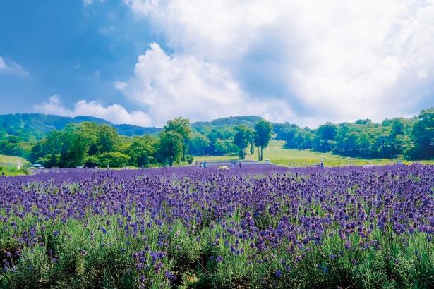 関東最大50,000株のラベンダーが咲くたんばらラベンダーパーク(群馬県・沼田市)。見ごろは7~8月だ。