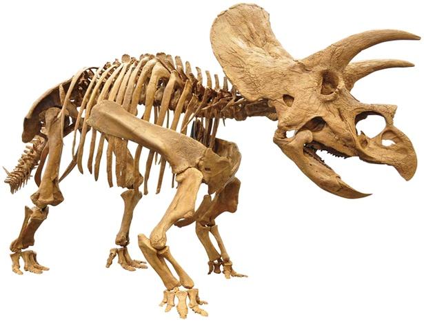 人気が高いトリケラトプスの全身骨格も登場する