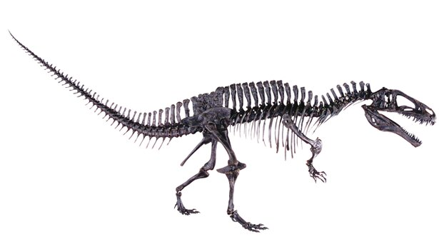 10mを超えるアクロカントサウルスの標本は圧巻の大きさ