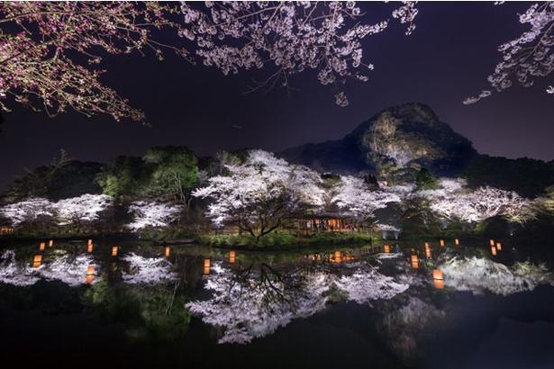 池に映る夜桜が幻想的。九州最大級とされるライトアップが行われる