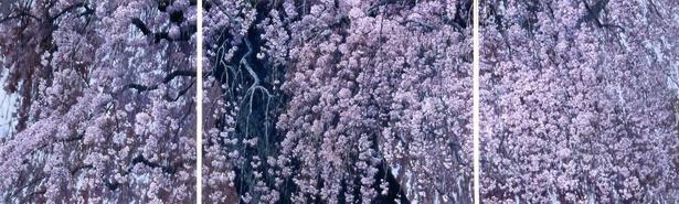 まるで桜が目の前にあるように感じられる洋画家・三栖右嗣(みすゆうじ)の大作「爛漫」500号