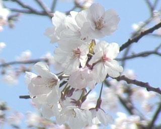 空から桜が降り注ぎます