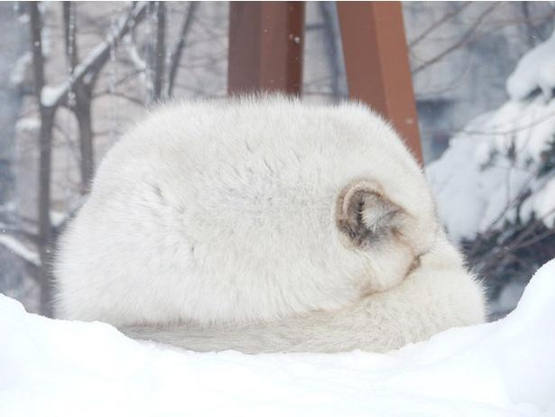 旭山動物園/丸まって寝ているホッキョクギツネ