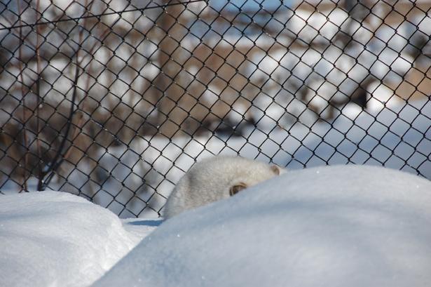 旭山動物園/雪に同化するホッキョクギツネ
