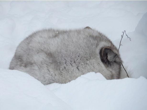 旭山動物園/大体寝ているホッキョクギツネ