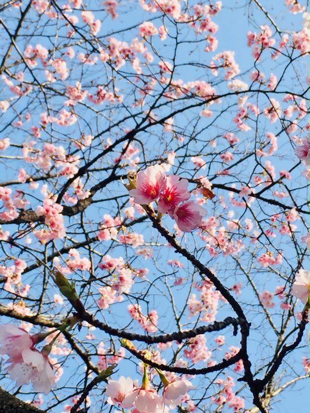 【写真を見る】早咲きの大寒桜はほぼ満開の様子!